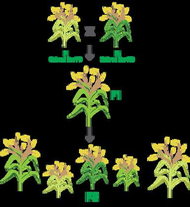 Seed Hybrid